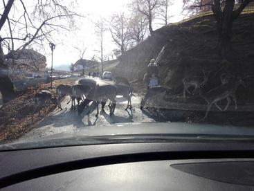 Divjad na cesti