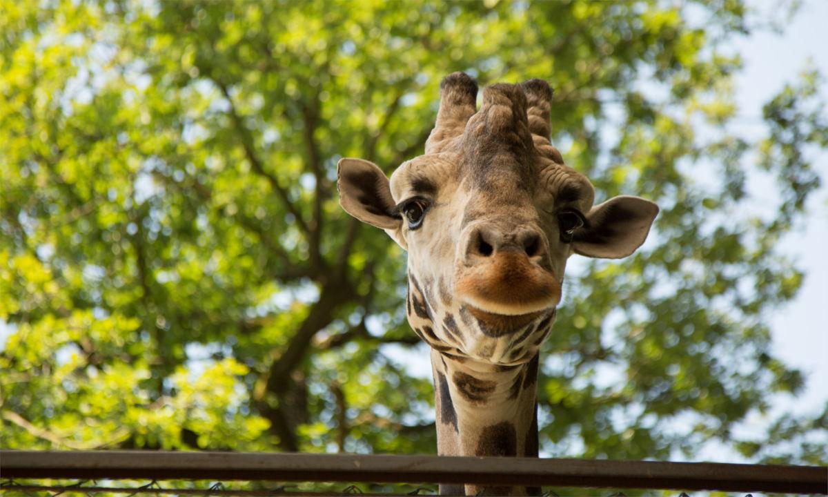 Pogled v žirafo